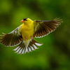 Male Goldfinch in Flight
