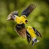 Male Goldfinches Fighting