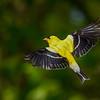 Male Goldfinch in Flight