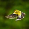 Female Goldfinch in Flight