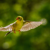 Female Goldfinch in Flight