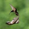 Hummingbird Aerial Combat