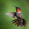 Male Ruby-Throated Hummingbird in Flight