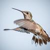 Female Ruby-Throated Hummingbird in Flight
