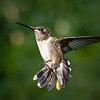 Young Male Ruby-Throated Hummingbird in Flight