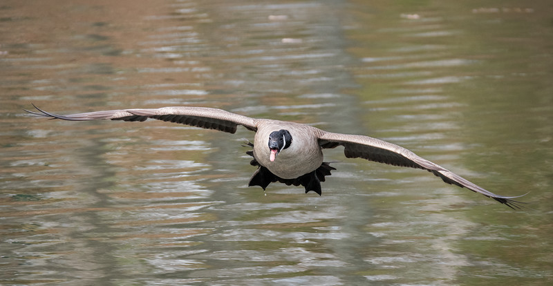 Full Frontal Canada Goose