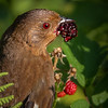 Female Towhee Eating Raspberry