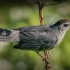 Catbird with Inchworm