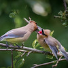 Cedar Waxwing Feeding Young