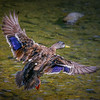 Female Mallard in Flight