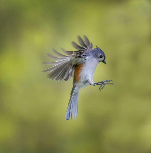 Titmouse in Flight
