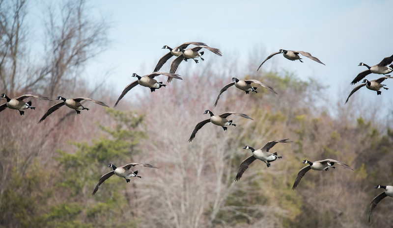 Canada Geese on the Approach