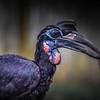 African Hornbill Feeding