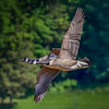 Pair of Canada Geese in Flight