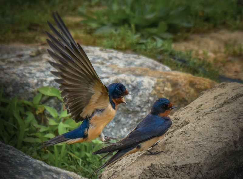 Barn Swallows in Courtship