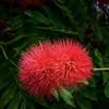 Pink Powder Puff, Maui, Hawaii
