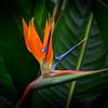 Bird of Paradise, Maui, Hawaii