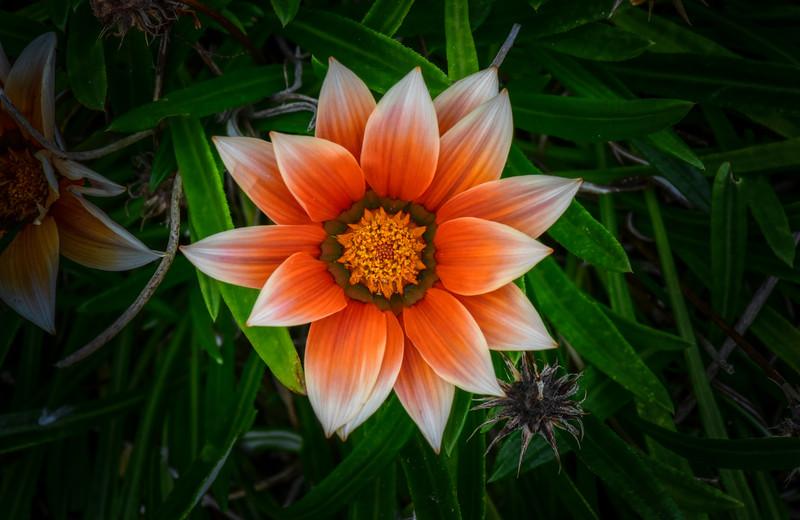 Treasure Flower (Gazania rigens), Maui, Hawaii