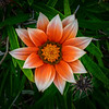 Treasure Flower (Gazania rigens), Maui, Hawaii