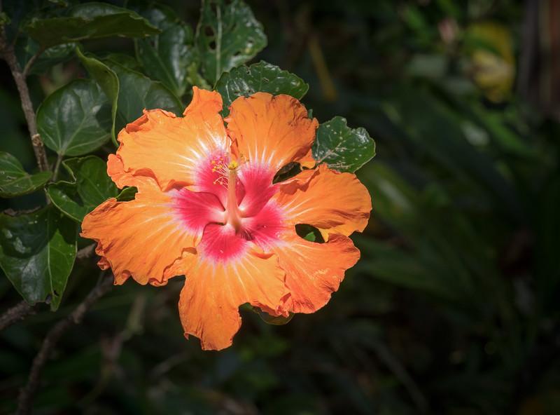 Chinese Hibiscus, Maui, Hawaii