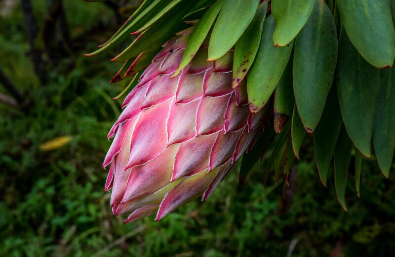 King Protea (Protea cynaroides), Maui, Hawaii