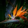 Bird of Paradise, Maui, Hawaii