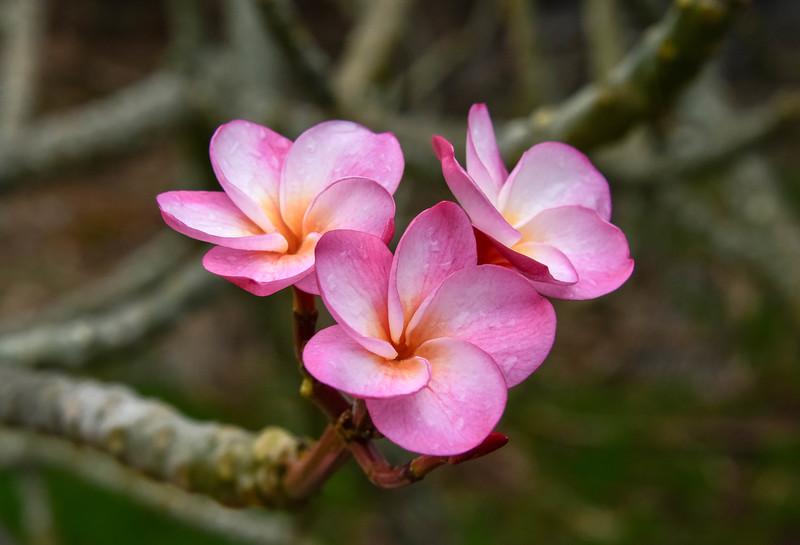 Pink Plumeria Flower (Frangipani), Maui, Hawaii