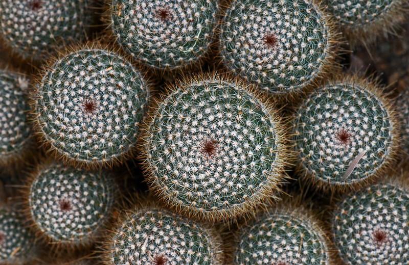 Pincusion Cactus, National Arboretum, Washington D.C.