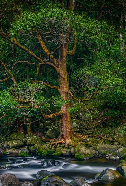 Ancient Rainforest Tree, Maui, Hawaii
