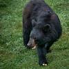 Female Black Bear Eating Wild Apple