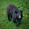 Female Black Bears