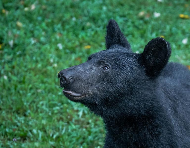 Male Black Bear