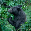 Male Black Bear