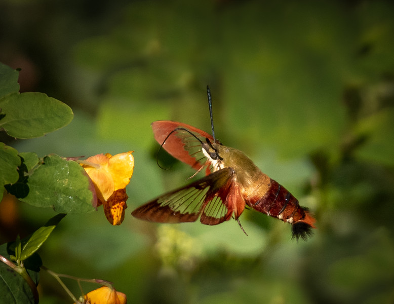 Hummingbird clearwing Moth (Hemaris thysbe)
