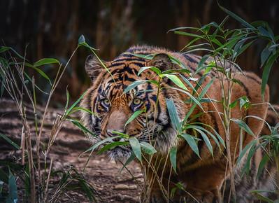Siberian Tiger Skalking