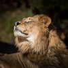Male Lion Sunning