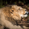 Male Lion Bellowing