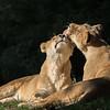 Female Lions Grooming