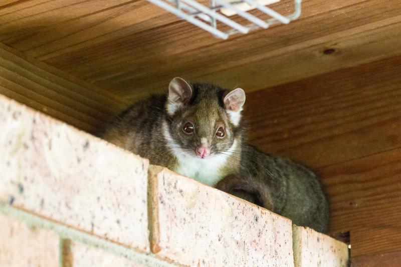 Common Ringtail Possum (Pseudocheirus peregrinus)