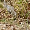 Eastern Blue-tongued Lizard (Tilliqua scincoides)