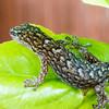Marbled Gecko, (Christinus marmoratus)