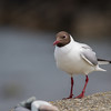 Black-headed gull (Chroicocephalus ridibundus