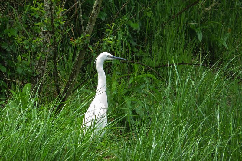 Little Egret(Egretta garzetta)