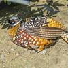 Reeve's Pheasant (Syrmaticus reevesii)