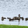 Mottled Duck  <br /> (Anas Fulvigula)