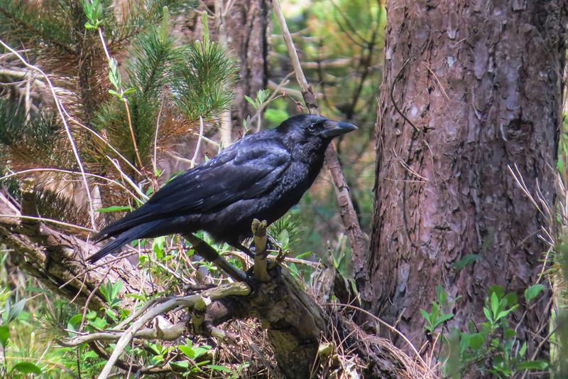 Carrion Crow (Corvus corone)