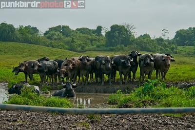 Trinidad Water Buffalo