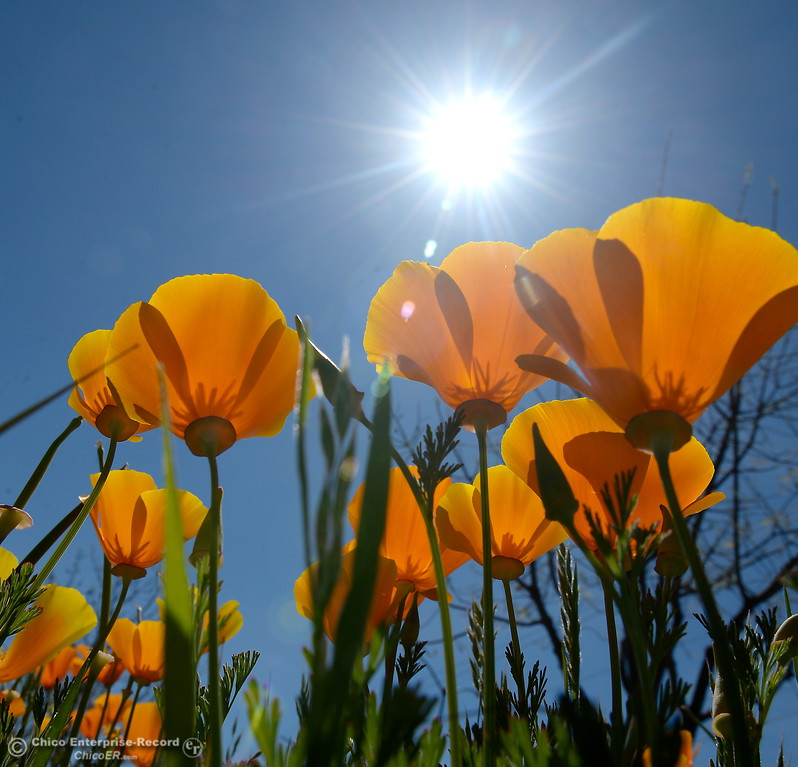 . California Poppy\'s are blooming near Wildwood Park in Upper Bidwell Park in Chico, Calif. Mon. April 3, 2017.  (Bill Husa -- Enterprise-Record)