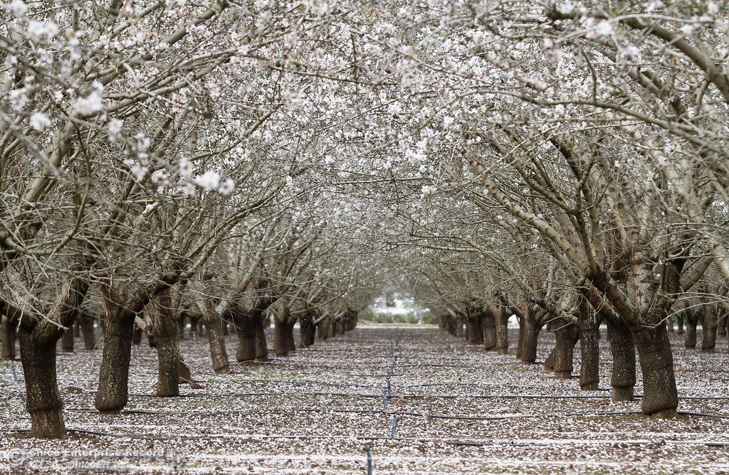 . Almond trees blossom and bees buzz around the flowers February 21, 2017 in Durham, California. (Emily Bertolino -- Enterprise-Record)