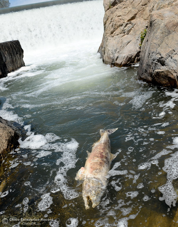 . A dead fish is seen swirling around near the Fish Barrier Dam in Oroville, Calif. Mon. July 24, 2017.  (Bill Husa -- Enterprise-Record)